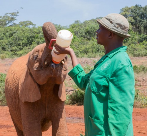Feeding time for the Sheldrick orphans is everyday and many times during the day.