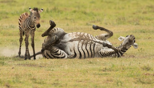 Mother and young zebra in Ngorongoro Crater