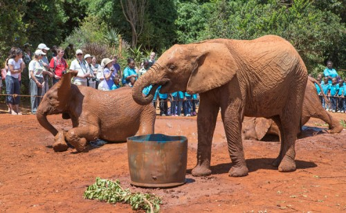 Drinking and rolling in the dirt in front of visitors at the Sheldrick Foundation.